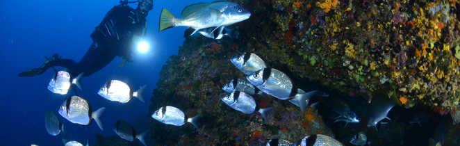 Décor sous-marin de Méditerranée : bancs de sars et corbs