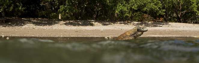 Dragon de Komodo sortant du bain