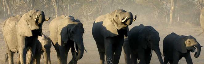 Éléphants dans une rivère au Botswana
