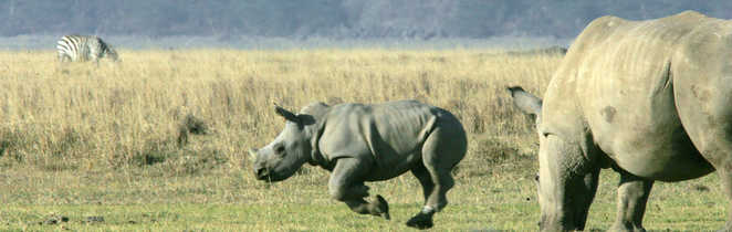 Famille de rhinocéros dans la savane