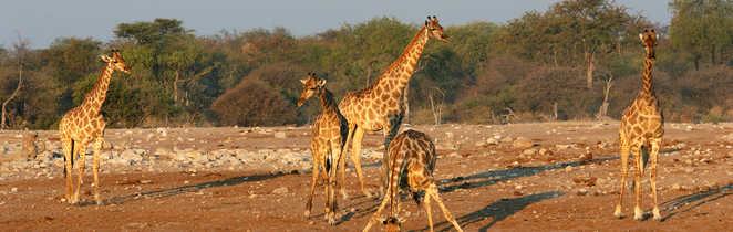 Girafes au point d'eau dans le parc d'Etosha en Namibie