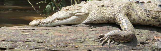 la sieste du crocodile
