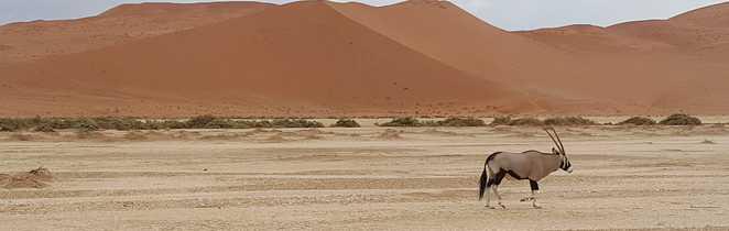 Oryx dans le désert du Namib