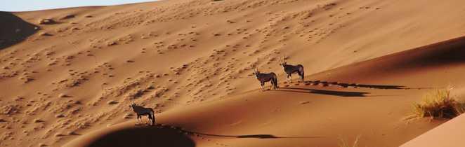 Oryx sur la dune dans le désert du Namib