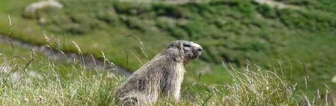 Petite marmotte dans le Parc du Mercantour