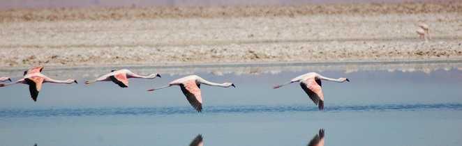 Flamants roses Laguna Chaxa Salar Atacama Chili