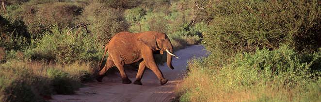 Éléphant traversant le chemin
