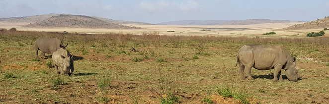 Rhinocéros blancs dans une réserve sud-africaine