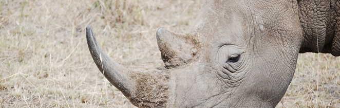 Rhinocéros dans un parc national en Afrique du Sud