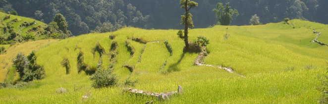 Rizières en terrasses du Népal