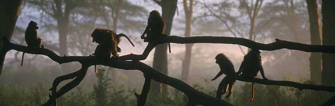Singes sur une branche dans le parc de Manyara