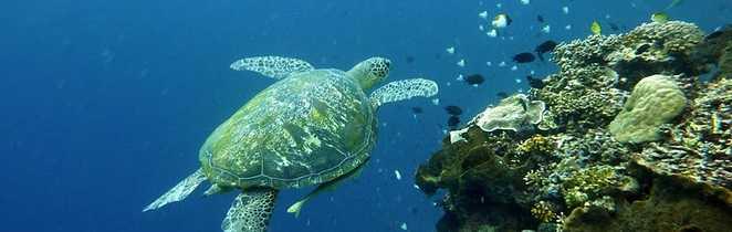 Tortue majestueuse dans le corail indonésien