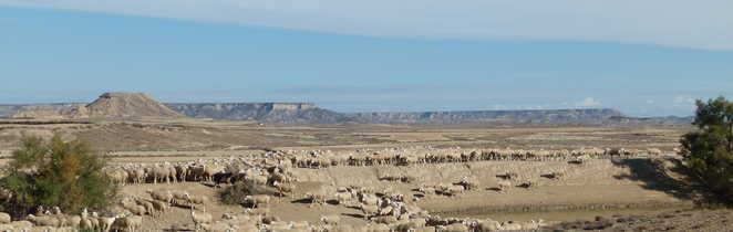 Troupeau de moutons dans le désert des Bardenas Reales