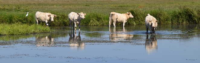 Les vaches blanches au bord du canal