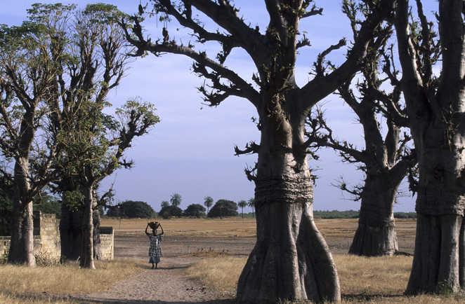 Baobabs dans les grandes étendues sahéliennes