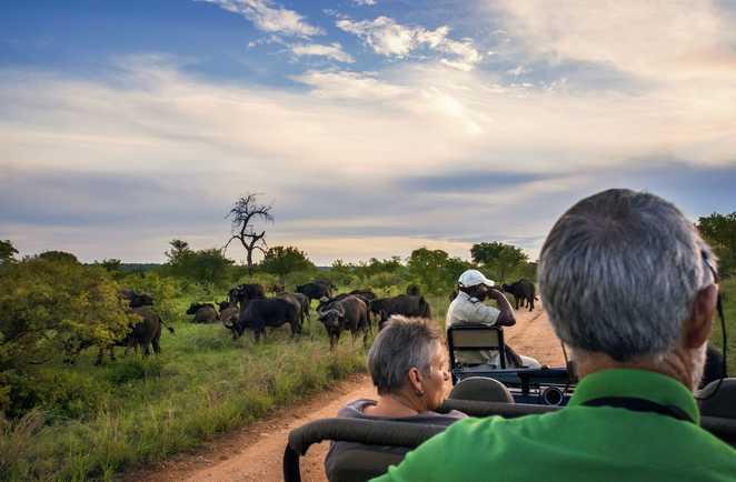 Buffles pendant un safari en Afrique du Sud