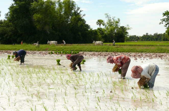 Cambodgiens récoltant le riz