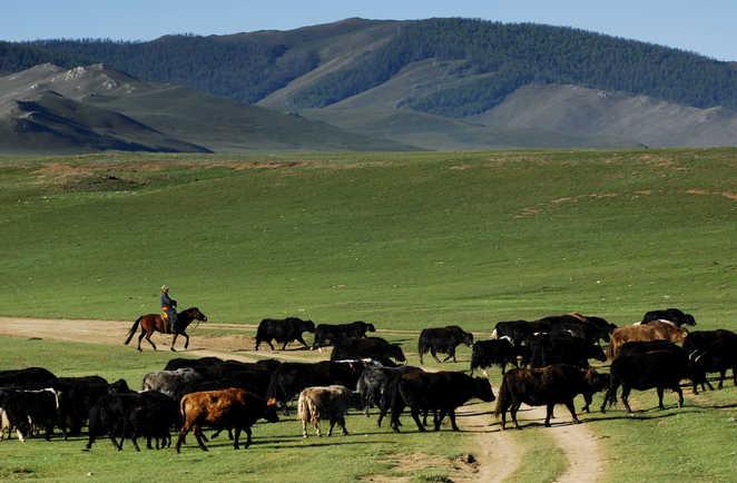 Cavalier à cheval dirigeant un troupeau de yaks, Mongolie