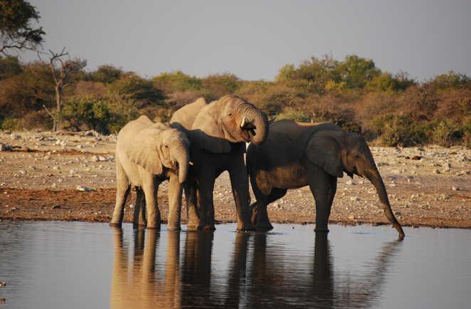Éléphants au bord d'une rivière en Namibie