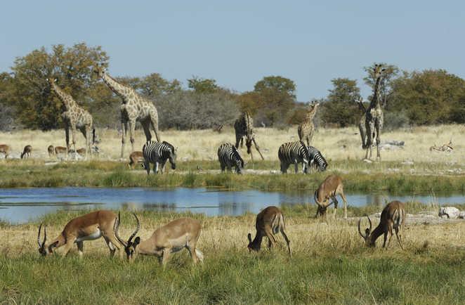 Gazelles , zèbres et girafes au plan d'eau