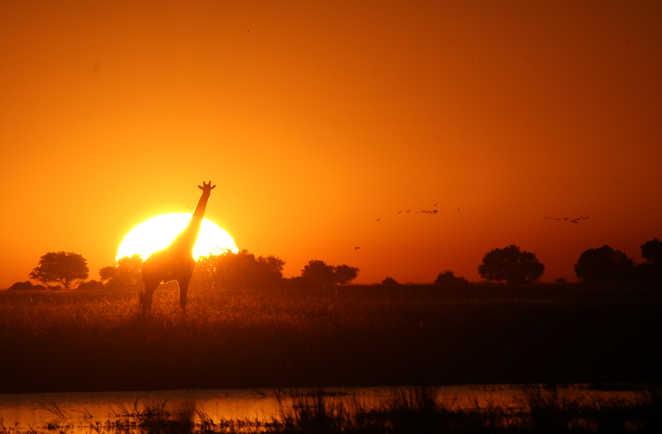 Okavango Moremi Botswana Girafe