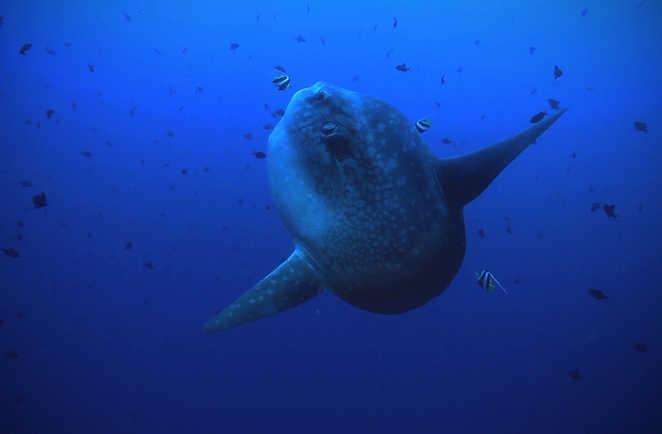 Le mola mola, ou poisson lune, la rencontre rêvée des plongeurs à Bali