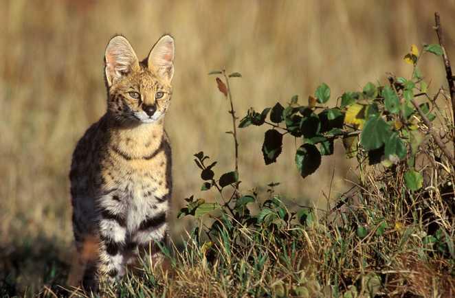 Le serval, magnifique félin de la savane tanzanienne que l'on peut voir au Serengeti