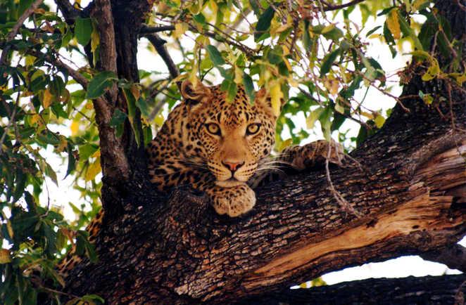 Léopard dans la réserve de Moremi au Botswana