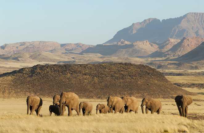 Les éléphants dans les paysages désertique de Namibie