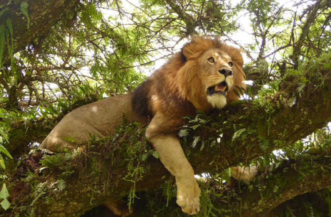 Lion rugissant dans l'arbre au Ngorongoro