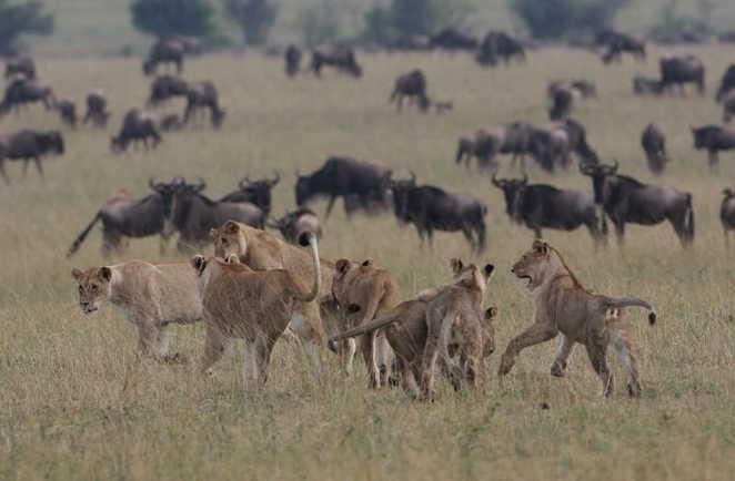 Lions autour de la migration des gnous