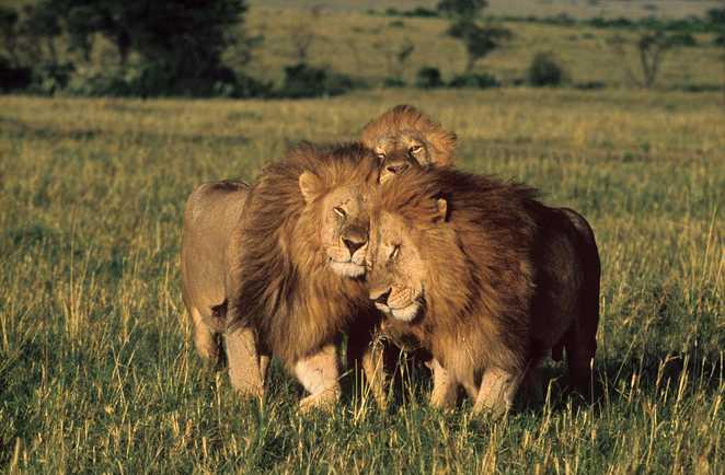 Lions dans la savane
