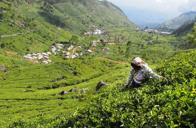 randonnée plantation de thé sri Lanka