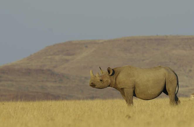 Rhinocéros dans la savane