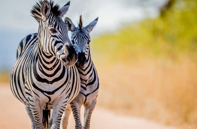 Zèbres dans le parc Kruger en Afrique du Sud